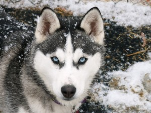 Siberian-Husky-animals-28799003-1600-1200