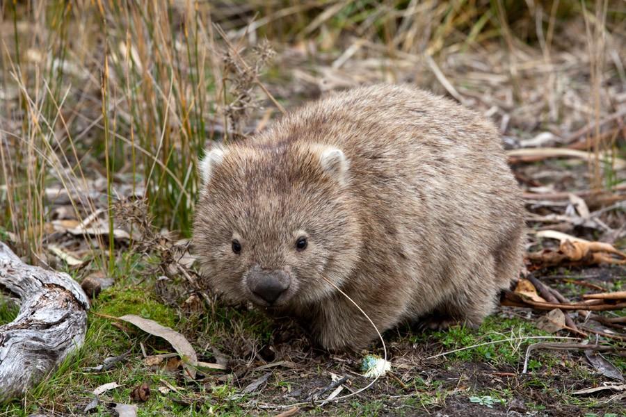 Wombats_20130803_08-Edit