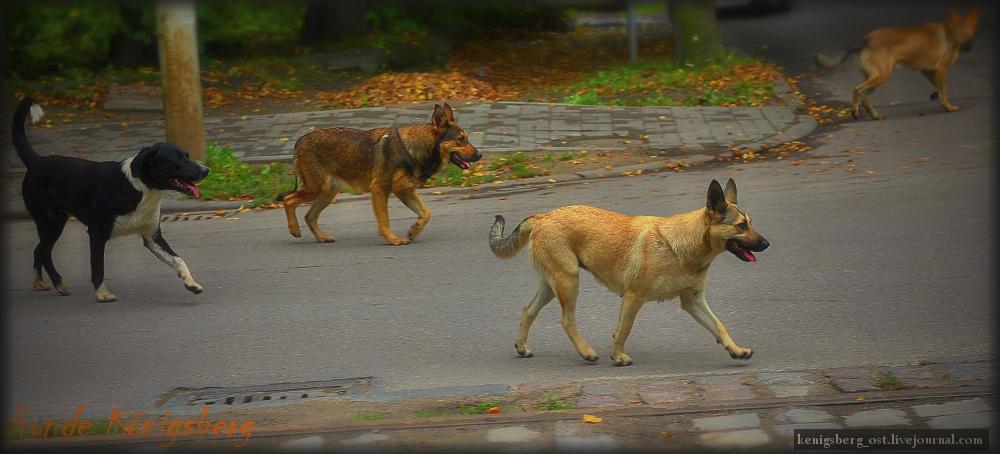 Собаки Кенигсберга