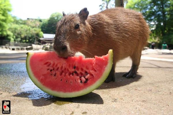 Capybara_16