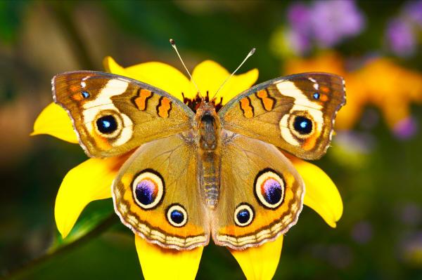 butterfly_026