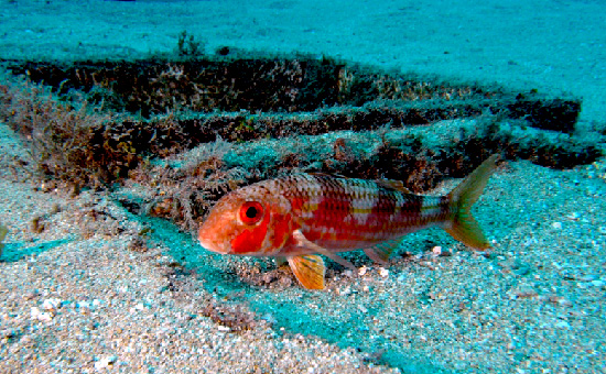 red_mullet_spawning