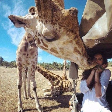 Поцелуй_жирафа