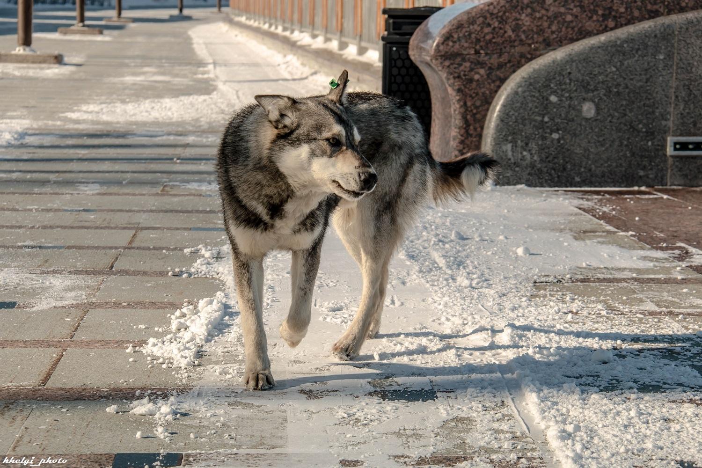 Dog_Wolf_001