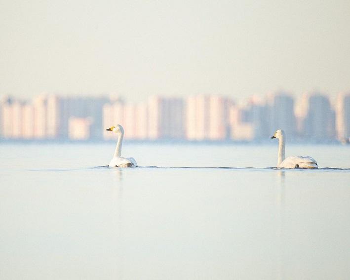 Лебедь_001