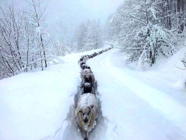 бараны в снегу