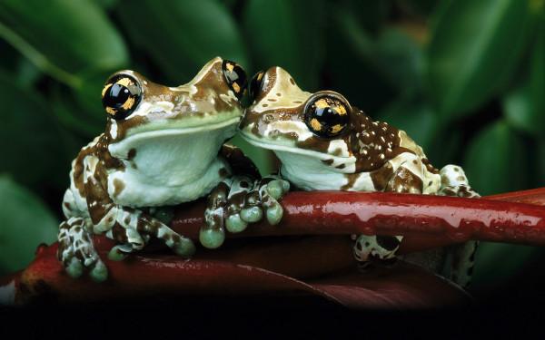 целующиеся лягушки