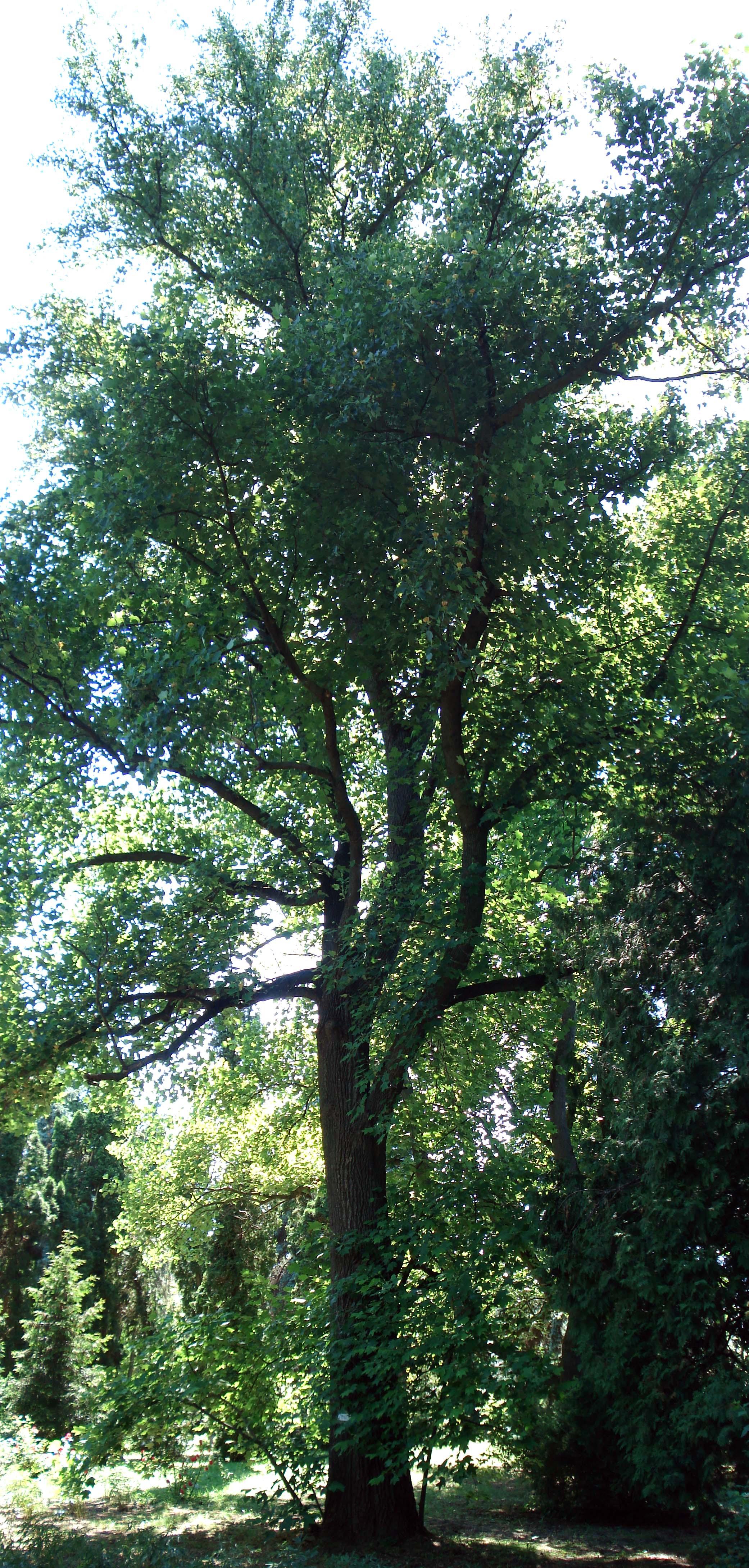 110_тюльпановое дерево_1952.jpg