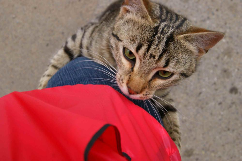 Это питерский котик. Он подумал, что я Эверест и решил меня покорить. Ему это удалось и он получил угощение))