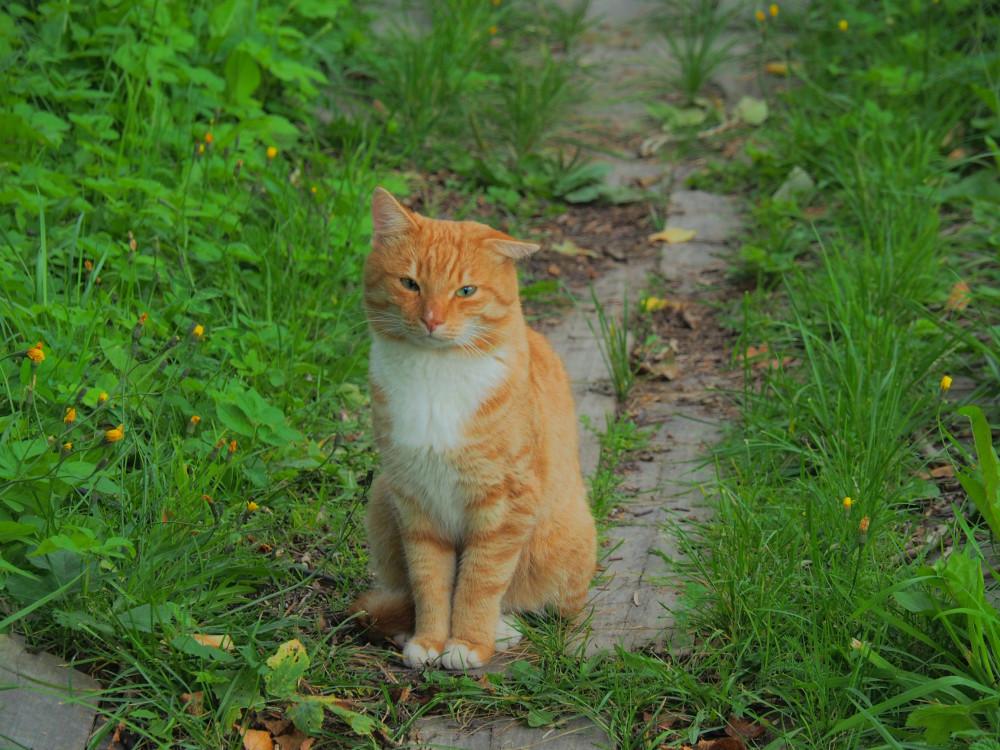 Каргополь рыжий кот