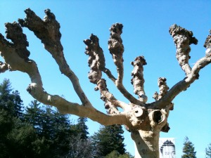 Pollarded tree on the UC Berkeley campus