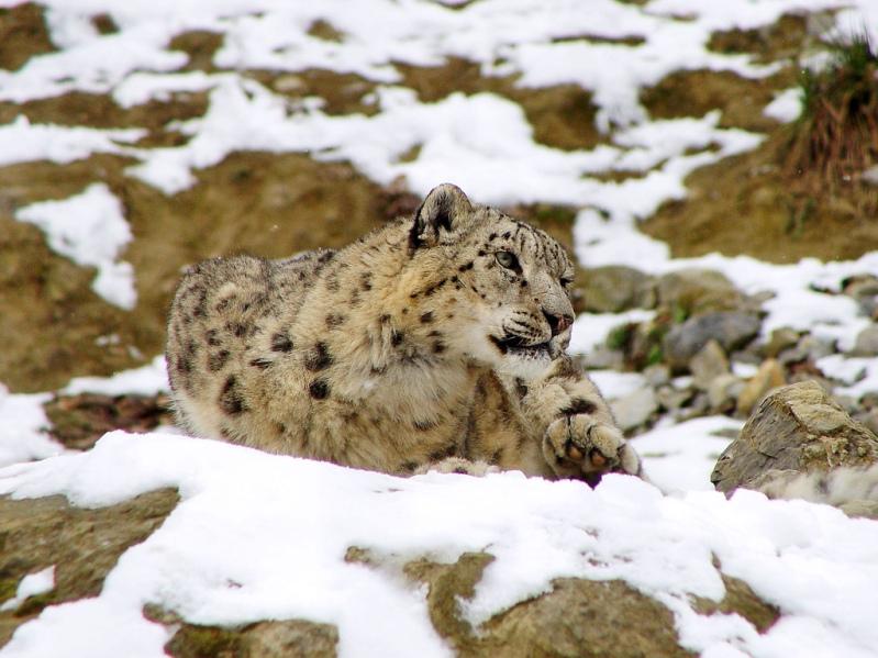 Снежный барс (ирбис). Фото (5)