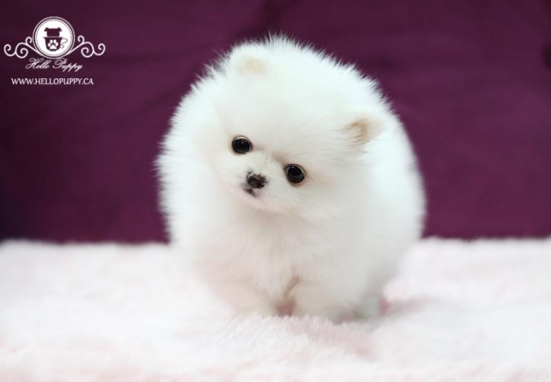 1-щенок померанского шпица