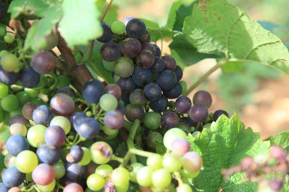 виноград для grand vin
