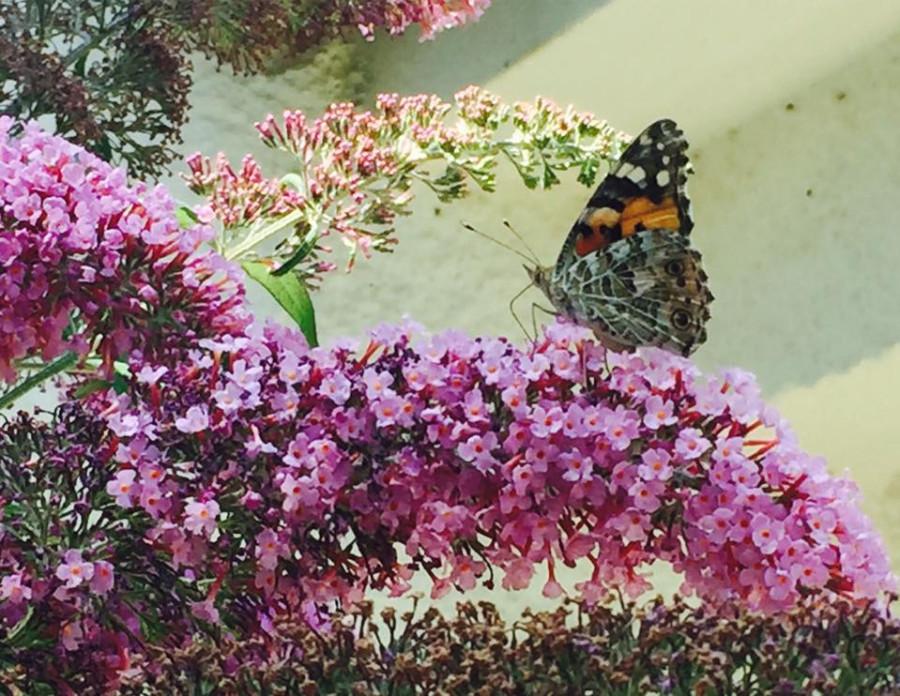 бабочка хорватия