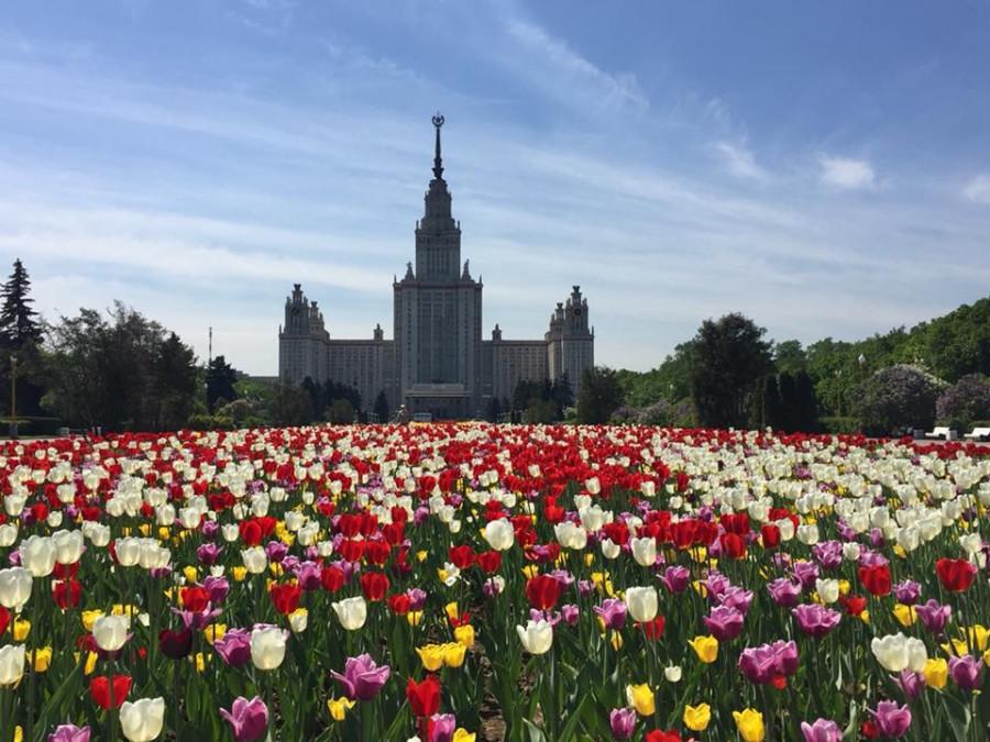 mgu tulips