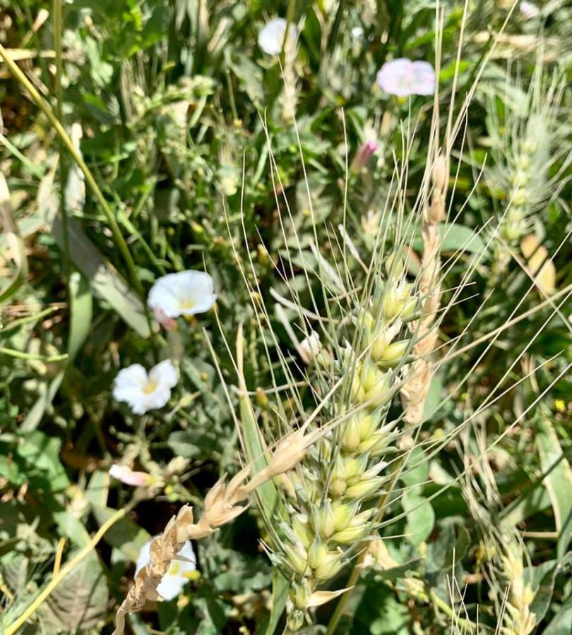nile moala wheat