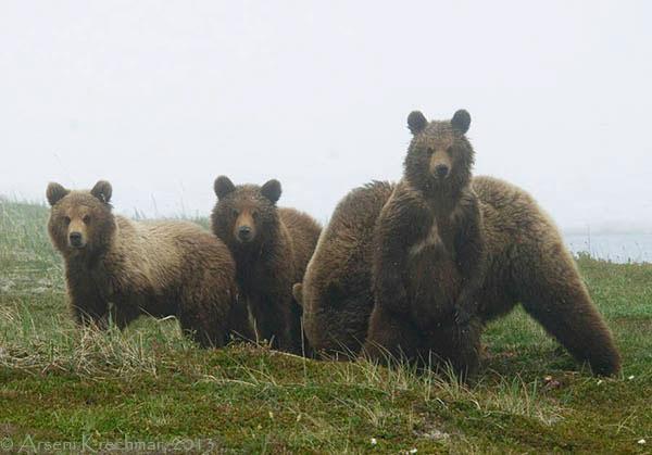медведы