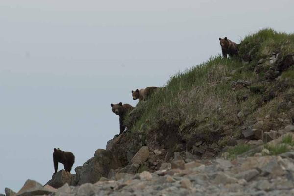 много медведов