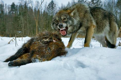 ohota-na-volka-na-privade