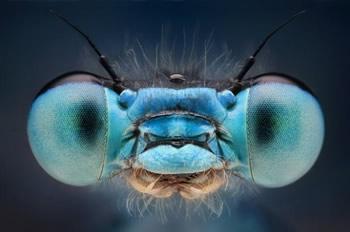 Муха пучит глаза в момент удара китайской мухобойкой. Фото проф. Дикинсона из Калифорнийского технологического института.