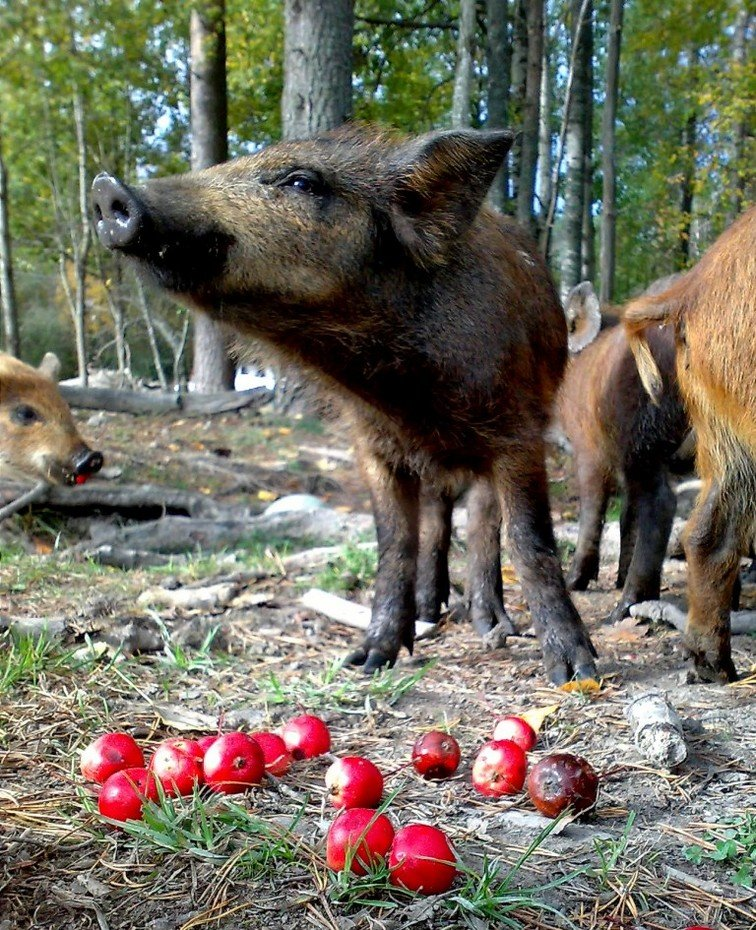 """Кабанчики тоже любят яблоки, а значит, они также """"не чужды прекрасного"""", и их сознание способно различать вкусы и наслаждаться вкусом яблок."""