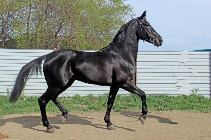 Русский рысак - особая порода лошадей, которую начали выводить в России в начале 20 века на основе орловских рысаков.