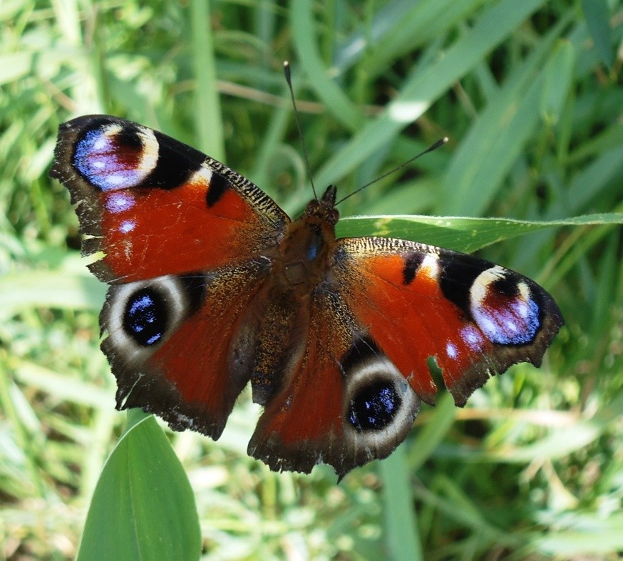 Стреляная бабочка