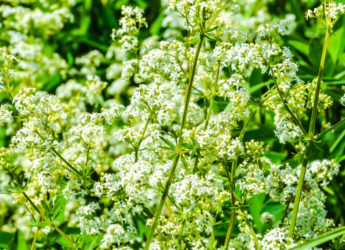 Трава кашка фото