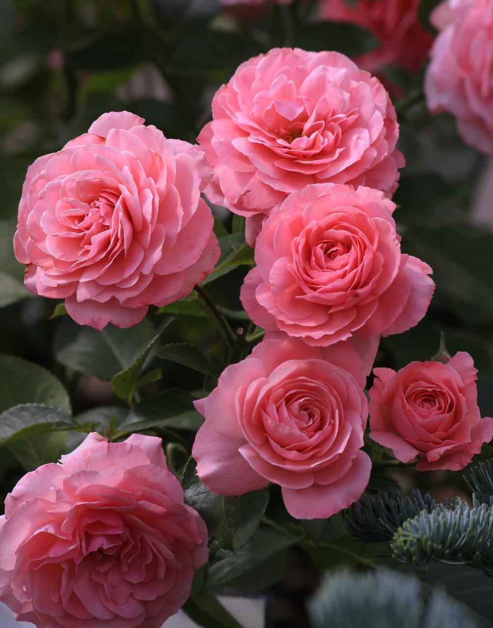 Секси-рекси это сорт садовых роз