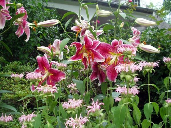 lilies_2