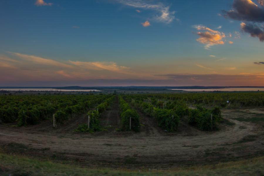 Виноградники на Таманском полуострове © Никита Перфильев