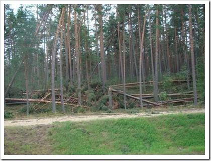 лес после тайфуна