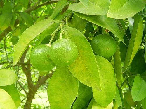 будущие лимоны