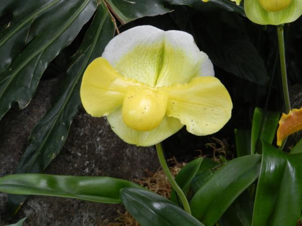 орхидеи 027