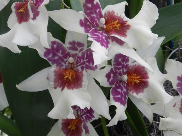 орхидеи 104