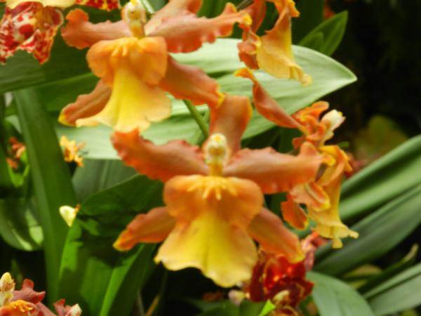 орхидеи 147
