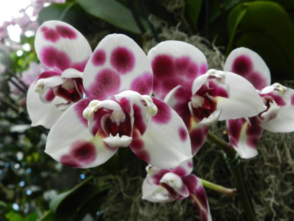 орхидеи 175