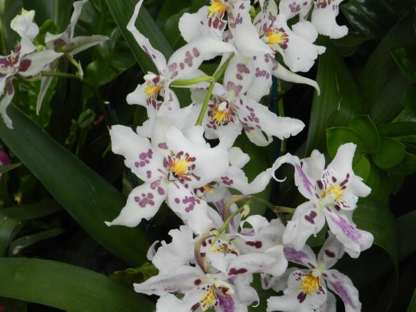 орхидеи 208
