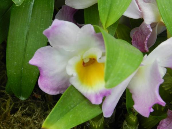 орхидеи 211