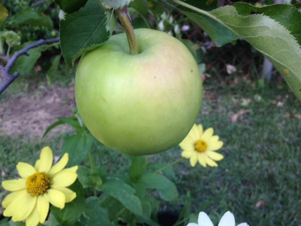 яблоко 7-31-14