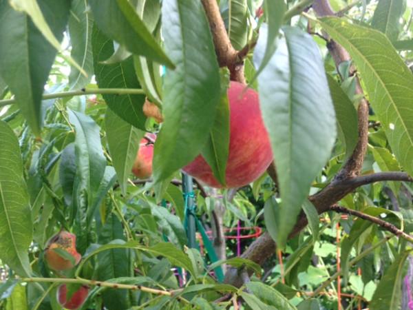 персики 7-31-14
