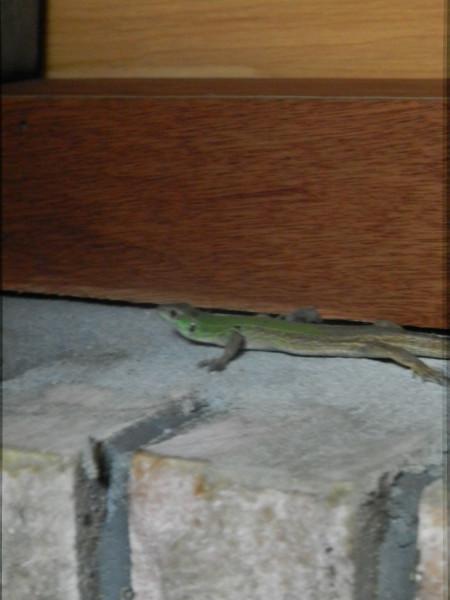 ящерица 6