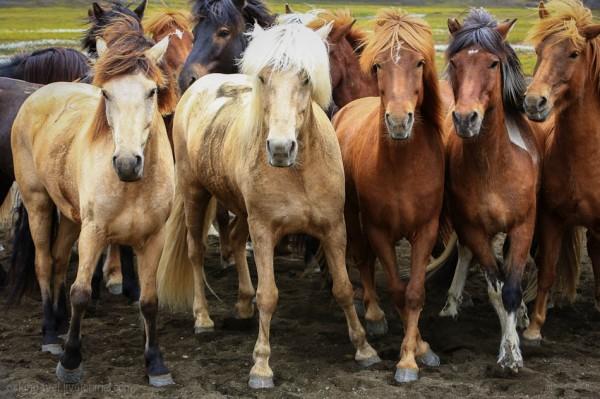 лошади4
