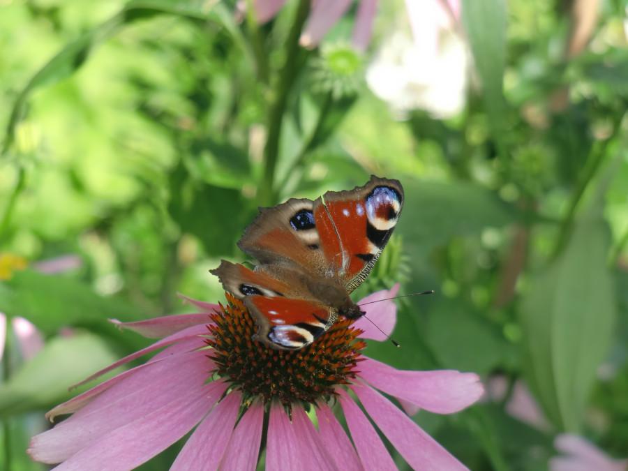 эхинацея с бабочкой