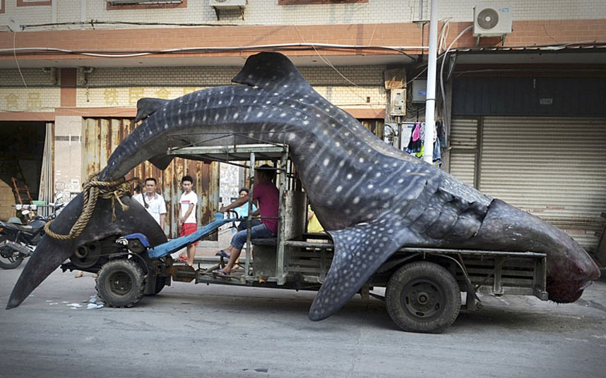 potd-whale-shark_2995365k