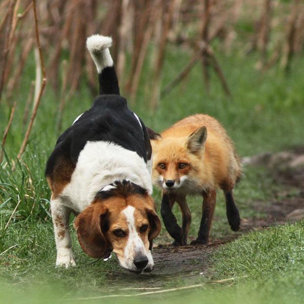 fox-dog_1899607i