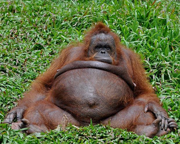 fat-orangutan_1796271i