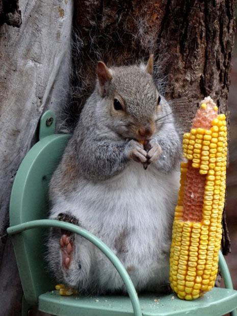 squirrel-corn_2062562i