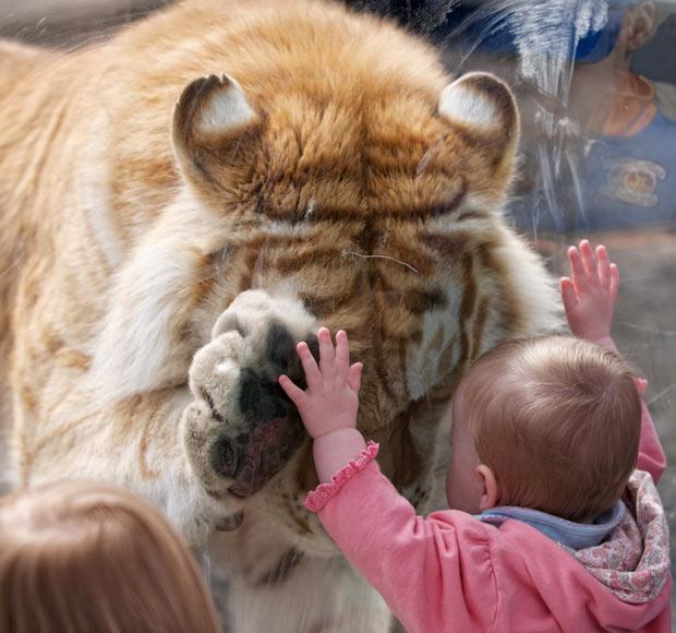 tiger-baby_2041559i